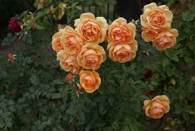 Ludwigs Roses