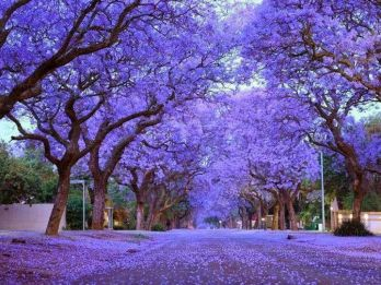 jacaranda-featured-3
