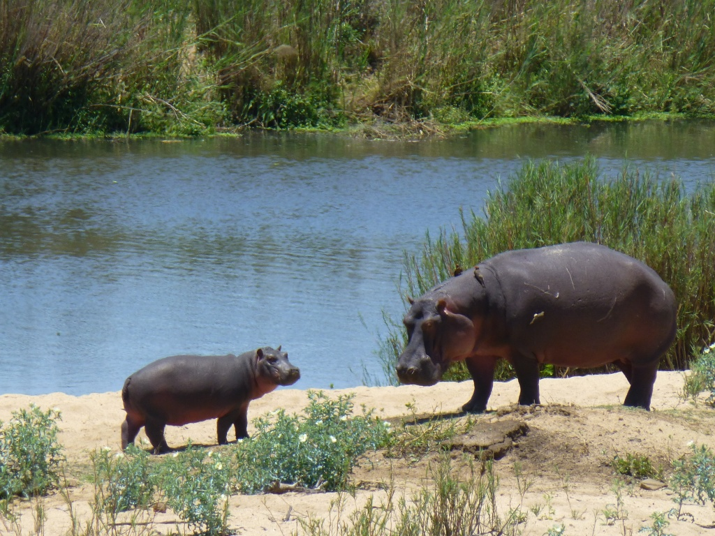 young hippo with its mother