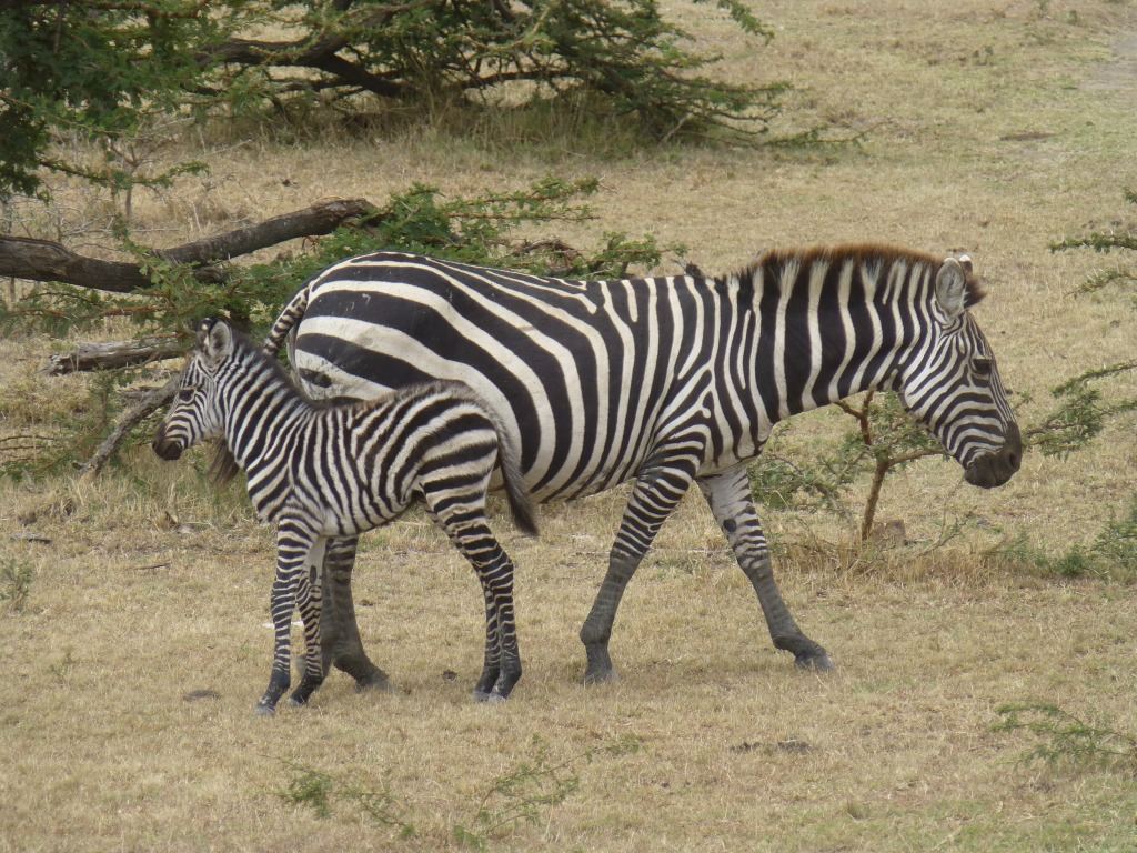 Baby Zebra with its mother