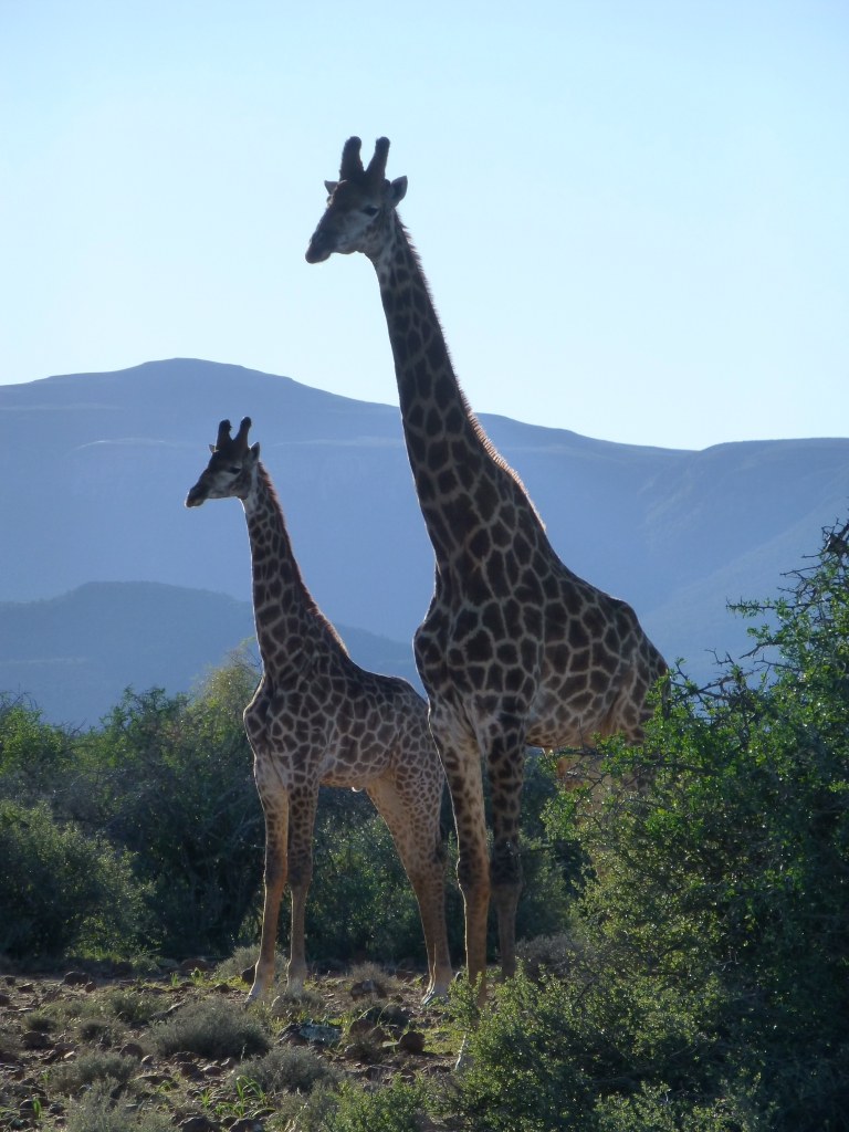Young giraffe with adult giraffe